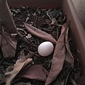 Feral pigeon egg.jpg