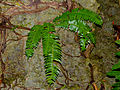 Fern (Cyclopeltis crenata ?) on limestone (15040644983).jpg