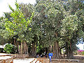 Ficus benghalensis33.jpg