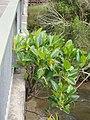 Ficus macrophylla macrophylla Desf. ex Pers. (AM AK309527-2).jpg