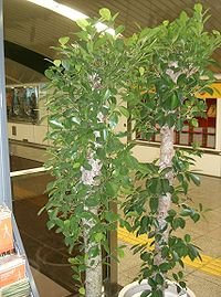 Ficus microcarpa1