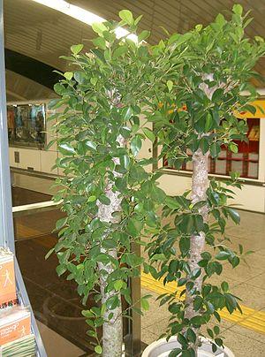 Ficus microcarpa - Ficus microcarpa as an indoor landscape plant.