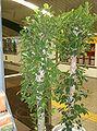Ficus microcarpa1.jpg
