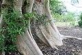 Ficus racemosa 0zz.jpg