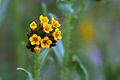 Fiddleneck blooms (Amsinckia sp.).jpg