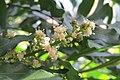 Filicium decipiens - Fern Tree at Theni (2).jpg