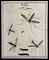 Five crane flies (Tipulidae species); adults and larva. Colo Wellcome V0022479ER.jpg