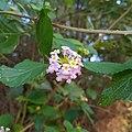 Fleur de Galabert.jpg