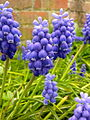 Fleurs de muscari à Grez-Doiceau 003.jpg