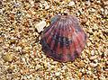 Flexopecten ponticus 2008 G1.jpg
