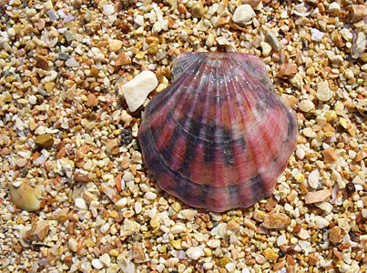 The Scallop shell Flexopecten glaber ponticus. Died out animal