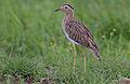 Flickr - Rainbirder - Double-striped Thick-Knee (Burhinus bistriatus).jpg