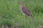 Flickr - Rainbirder - Double-striped Thick-Knee (Burhinus bistriatus)