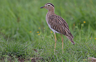 Double-striped thick-knee species of bird