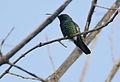 Flickr - Rainbirder - Green-throated Mango (Anthracocorax viridigula) (1).jpg