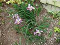Flickr - brewbooks - Iris in Our Garden - May, 2008 (7).jpg