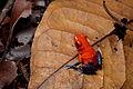 Flickr - ggallice - Strawberry dart frog (2).jpg