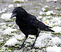 Flickr - law keven - Come on Mr..have pity on a poor cold crow...-O).jpg