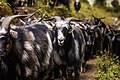 Flock of Goats.jpg