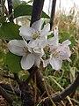 Flor de manzana.jpg