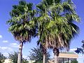 Florida Palms.jpg
