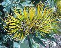 Flower Leucospermum formosum.JPG