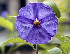Flower of Solanum aviculare 2.jpg