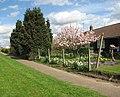 Flowering Magnolia - geograph.org.uk - 1241257.jpg