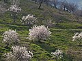 Flowering almond trees.jpg