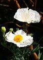 Flowers, Dunster Castle Gardens, Somerset (3821534540).jpg