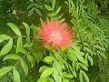 Flowers of Cuba -Laslovarga (2).JPG
