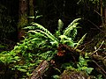 Forest ferns - geograph.org.uk - 468777.jpg