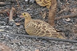 Four-banded sandgrouse (Pterocles quadricinctus) female.jpg
