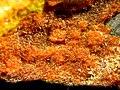 Fourmarierite-Becquerelite-Uraninite-201071.jpg