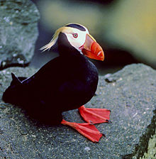 Tufted Puffin a fraterculine auk