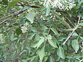 Fraxinus cuspidata (22966716913).jpg