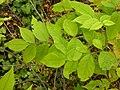 Fraxinus pennsylvanica (5107486147).jpg