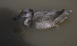 Freckled duck.jpg