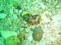 Freckled flatworm at Windmill Beach PA111749.JPG