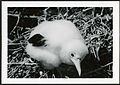 Fregata minor (Great Frigatebird) 35 days old, on Christmas Island (Kiritimati), Kiribati, 1967. (9392658227).jpg