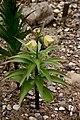 Fritillaria-radema-habitus.jpg