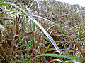 Frost on a blade of grass.JPG