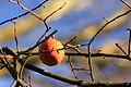 Fruits oranges, jardin japonais 2.JPG