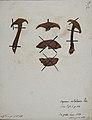 Fungi agaricus seriesI 052.jpg