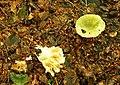 Fungus, Crawfordsburn Glen (3) - geograph.org.uk - 904519.jpg