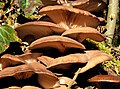 Fungus, Lagan towpath, Belfast - geograph.org.uk - 1705306.jpg