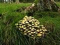 Fungus near Buttermere - geograph.org.uk - 974015.jpg