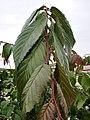 GFA U. lanceifolia leaves.jpg