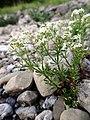 Galium anisophyllum Vill. (7582452232).jpg