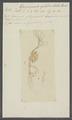 Gammarus quadrilobatus - - Print - Iconographia Zoologica - Special Collections University of Amsterdam - UBAINV0274 098 05 0003.tif